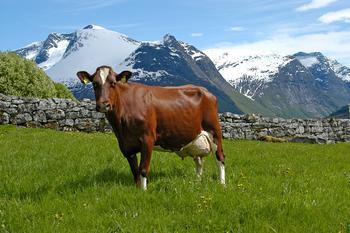 Norsk rødt fe (NRF)